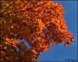 4427 Maple Tree.jpg