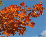 4429 Maple Tree