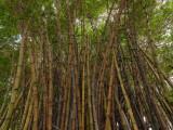 Bamboo P1000189