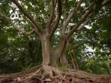 Fig tree P1000246