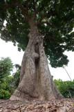 Mango tree (P1000934)