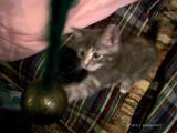 Kitten Mania with Brass Bell!