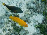 Orangestriped triggerfish & Lemonpeel Angelfish