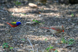 Male Painted Bunting and Female Northern Cardinal