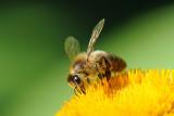 / Bi suger nektar