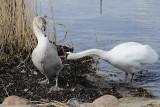 3) The ugly duckling / Den grimme ælling