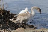 4) The ugly duckling / Den grimme ælling