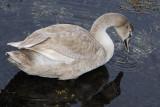 5) The ugly duckling / Den grimme ælling