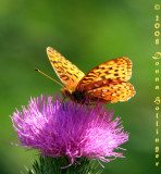 Silvery Fritillary on Thistle Flower