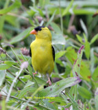 Male Goldfinch watching me