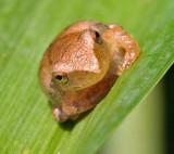Spring Peeper on Lily Leaf