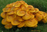 Mellow Yellow Mushrooms
