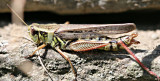 Female Grasshopper Laying Eggs
