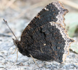 Mourning Cloak, getting minerals from the gravel