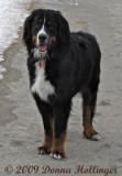 Bernise Mountain Dog Posing for Me!