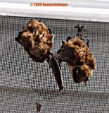 2 bats sleeping on a door screen
