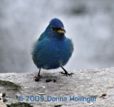 Indigo Bunting Today