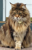Maine Coon Visitor Cat