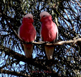 Two Galahs At Pat and Ray's Farm