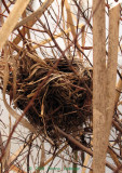 Blackbird Nest in the Cattails