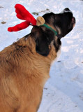 Ginger as a Reindeer