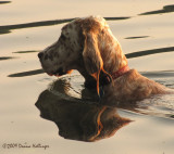 Mary Vic's Setter Swimming