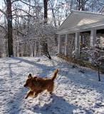 Retriever Frolicking in Snow