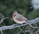 Young Female Cardinal in Snow