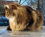 Augie, the Maine Coon Cat