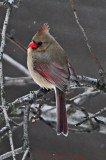 Female Cardinal Next Door