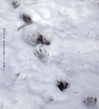 Raccoon Track at Mount Auburn Cemetery