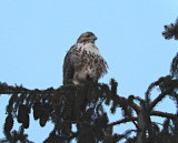 Red Tailed Hawk Today