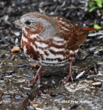 Passerella iliaca, Fox Sparrow