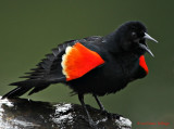 Red Winged Blackbird Excited
