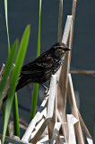 Female Red Winged Blackbird Has an Epaulette Too!