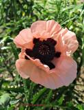 Standing Stone Poppy