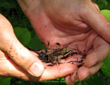 Woodfrog in Peter's hands