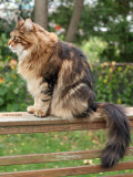 Visitor Maine Coon Cat