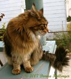 Augie the Cat