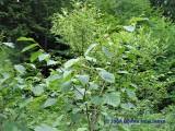 Fruits of the Beaked Hazelnut Tree