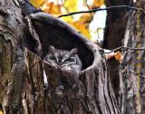 Sleeping Screech Owl
