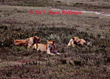 Sunbathing Lions