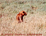 Male Lion on the Serengeti Plain