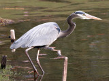 Great Blue Heron Sighting