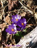 Crocus with wood