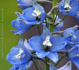 Bluey Blue