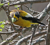 Male Evening Grosbeak sharpening his beak