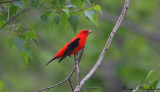 Scarlet Tanager- male