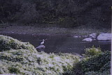 American White Pelican in Buchanan County VA