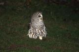 Barred Owl Visits